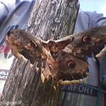 Saturnia del pero (105) farfalla