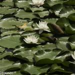Borgotaro natura (122) Ninfea bianca (Nymphaea alba)
