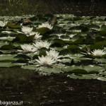 Borgotaro natura (124) Ninfea bianca (Nymphaea alba)