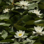 Borgotaro natura (125) Ninfea bianca (Nymphaea alba)