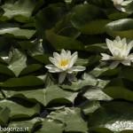 Borgotaro natura (126) Ninfea bianca (Nymphaea alba)