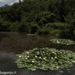Borgotaro natura (128) Ninfea bianca (Nymphaea alba)