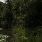 Borgotaro natura (132) Ninfea bianca (Nymphaea alba)