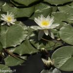 Borgotaro natura (133) Ninfea bianca (Nymphaea alba)