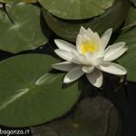 Borgotaro natura (134) Ninfea bianca (Nymphaea alba)