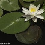 Borgotaro natura (135) Ninfea bianca (Nymphaea alba)