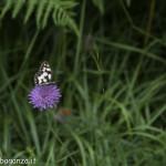 Borgotaro natura (215) farfalla