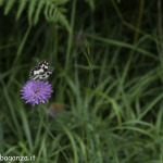 Borgotaro natura (216) farfalla