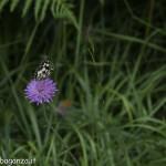 Borgotaro natura (217) farfalla