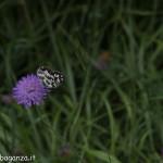 Borgotaro natura (218) farfalla