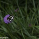 Borgotaro natura (219) farfalla