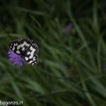 Borgotaro natura (220) farfalla