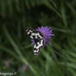 Borgotaro natura (221) farfalla