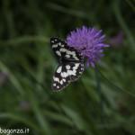Borgotaro natura (222) farfalla