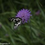 Borgotaro natura (223) farfalla
