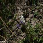 Borgotaro natura (225) farfalla