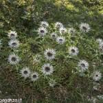 Berceto (100) Carlina bianca (Carlina acaulis)