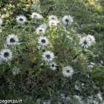 Berceto (107) Carlina bianca (Carlina acaulis)