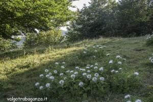 Berceto (110) Carlina bianca (Carlina acaulis)