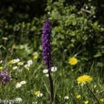 Monte Pelpi (142) orchidee