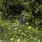 Monte Pelpi (143) orchidee