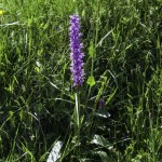 Monte Pelpi (147) orchidee