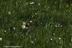 Monte Pelpi (167) orchidea