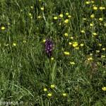 Monte Pelpi (182) orchidea
