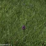 Monte Pelpi (183) orchidea