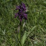 Monte Pelpi (204) orchidea