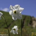 Monte Pelpi (264) narciso