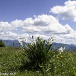 Monte Pelpi (432) narcisi