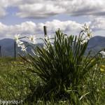 Monte Pelpi (433) narcisi