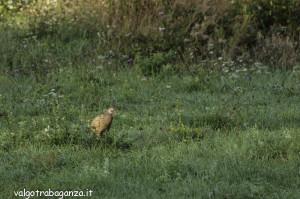 Pernice rossa Alectoris rufa (107)