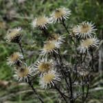 Carlina comune Carlina vulgaris (101)