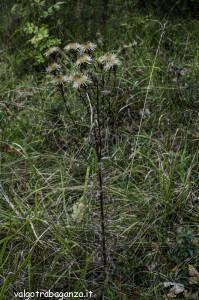 Carlina comune Carlina vulgaris (102)