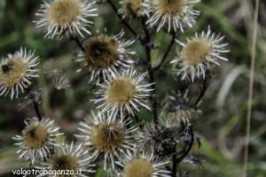 Carlina comune Carlina vulgaris (105)