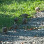 Pernice rossa (102) natura