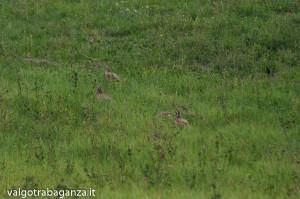 Pernice rossa (103) Valgotra