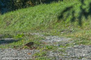 Pernice rossa (103) natura
