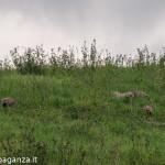 Pernice rossa (111) Valgotra