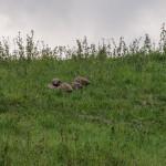 Pernice rossa (112) Valgotra