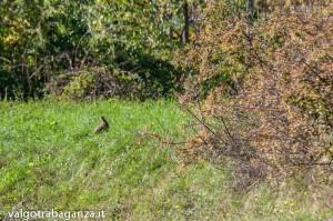 Pernice rossa (117) natura