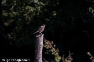 codirosso spazzacamino (102) Phoenicurus ochruros
