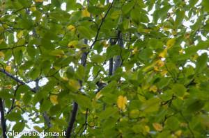 Cincia (100) Carpino nero