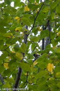 Cincia (101) Carpino nero