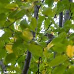 Cincia (102) Carpino nero