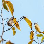 Cincia bigia (101) Carpino bianco