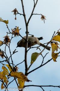 Cincia bigia (107) Carpino bianco