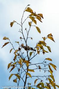 Cincia bigia (108) Carpino bianco
